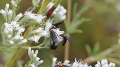 Love bugs on queen annes lace Stock Footage