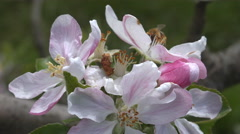 Bee at work pollinating apple blossoms  Stock Footage