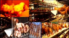 ,chicken baby chicken farm   animal farm multi screen collage Stock Footage