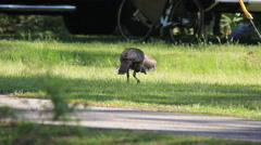 Turkeys foraging in campground Stock Footage