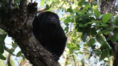 Black Howler Monkey in Tree Stock Footage