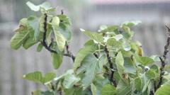 Rain over  fig tree Stock Footage