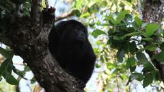 Black Howler Monkey in Belize - stock footage