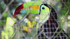 Keel-billed Toucan at the Zoo Stock Footage