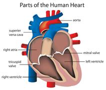 Parts of the heart - stock illustration