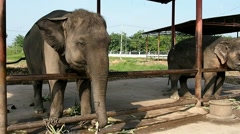 Thai elephant standing and moving his head Stock Footage