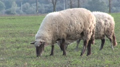 2 sheeps eating grass close up Stock Footage