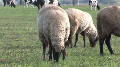 Sheep close up eating grass some cows in background Stock Footage