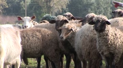 Goats and sheeps close up eating and looking to the camera Stock Footage