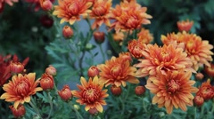 Orange daisy Stock Footage