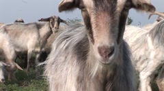 Goats 3 of them come close to the camera and kisses it then goes further Stock Footage