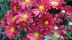 The bright red Daisy Stock Footage