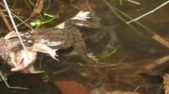 Waser frogs during mating in a stream - stock footage
