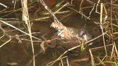 Waser frogs during mating - stock footage