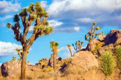 joshua tree national park - yucca brevifolia tree specie. - stock photo