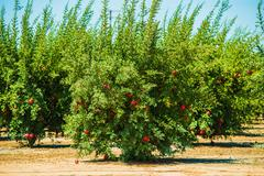 Pomegranate cultivation. pomegranate trees with fruits Stock Photos