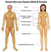 Human nervous system Stock Illustration