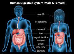 Human digestive system - stock illustration
