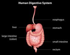 Human digestive system Stock Illustration