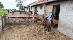 Domestic Goat Farm Stock Footage
