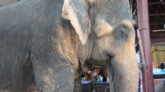 Thai Elephants at Ayutthaya Elephant Camp Thailand Stock Footage