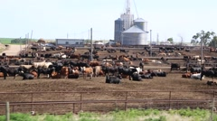 Cows Lying in a Cattle Stockyard and Grainary in Background Stock Footage