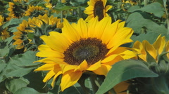 Sunflower field close up Stock Footage