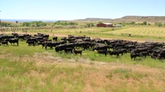 Passing Shot of Cattle Being Herded by Ranchers on Horseback - stock footage