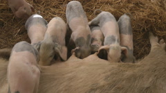 Piglets in the sow mother in farm Stock Footage