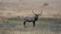 North American elk Stock Footage