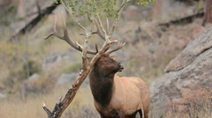 A North American bull elk rubs its antlers on a small tree 4 Stock Footage