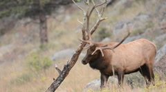 A North American bull elk rubs its antlers on a small tree 3 Stock Footage