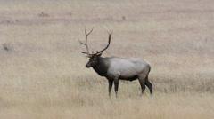 North American elk, Rocky Mountain National Park in Colorado - stock footage