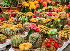 Various colorful blooming cactuses in pots on the market Stock Photos