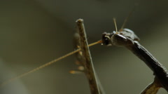 0068 mantis kalahari 6 1 Stock Footage