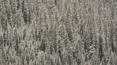 Pine trees covered in snow following a winter storm on a mountainside Stock Footage