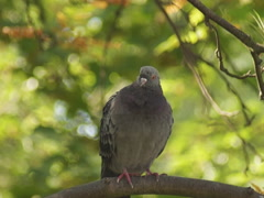 pigeon  on a branch - stock footage