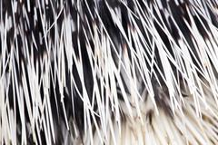 Porcupine quills as a background Stock Photos