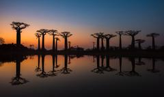sunset over alley of the baobabs, madagascar. - stock photo