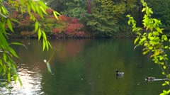 Ducks swimming on the autumn lake Stock Footage