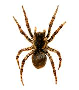 spider a tarantula - stock photo