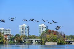 canada geese over the rideau river, ottawa, canada - stock photo