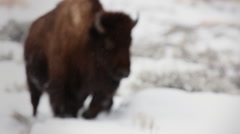 Bison Runs Through Snow Yellowstone - stock footage
