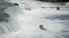 Bears Wait For Salmon Brooks Range Alaska Stock Footage