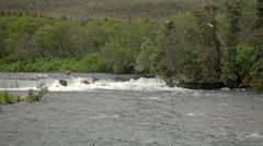 Bear Enter River Brooks River Alaska Stock Footage