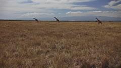 Three Giraffe Walk Across Savannah Kenya Stock Footage