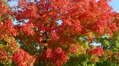 Red Maple Trees in Autumn, Fall Colors Stock Footage