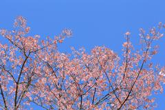 Beautiful pink flowers, cherry blossom Stock Photos