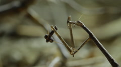 0067 mantis kalahari Stock Footage
