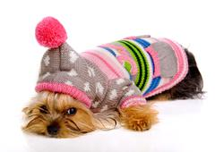 dog in fashionable clothes on a white background.yorkshire terrier.domestic f - stock photo